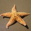 สารสกัดปลาดาว Starfish Extract 100g