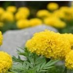 สรรพคุณ 12 ข้อของดอกดาวเรือง ดอกดาวเรืองทานได้ และรักษาโรคก็ได้นะ