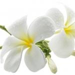 หัวน้ำหอม กลิ่นดอกลีลาวดีขาว 002310