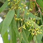 Eucalyptus Oil(100 ml)