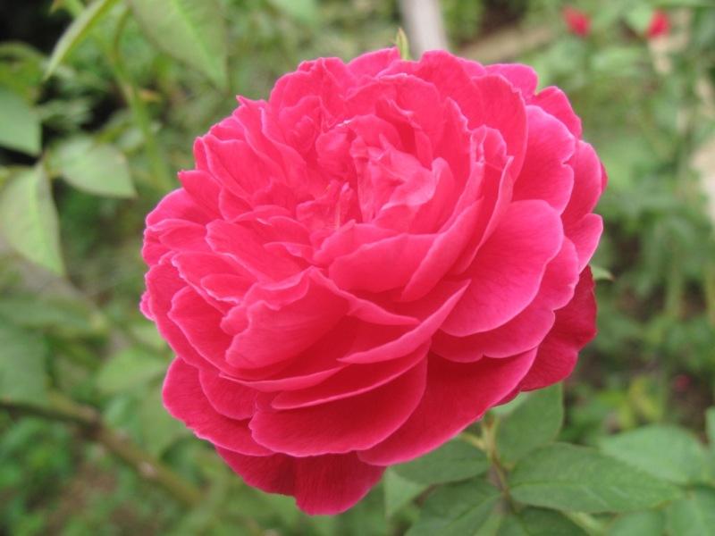 น้ำดอกกุหลาบมอญ 1 kg