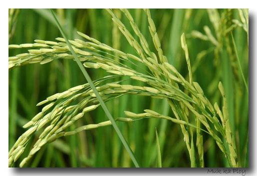หัวน้ำหอม rice milk นมข้าวหวาน 000866
