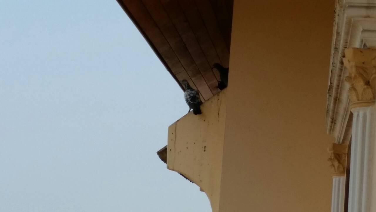 นกพิราบถ่ายมูลสกปรก