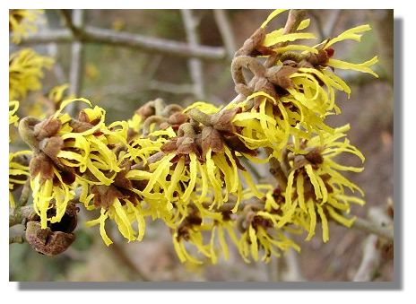 witch hazel distilled -alcohol free 100g