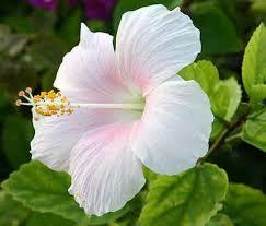 หัวน้ำหอม กลิ่นดอกชบา 002933