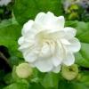 หัวน้ำหอม ดอกมะลิ 001191