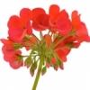 **หัวน้ำหอม Geranium 1-000350