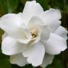 หัวน้ำหอม ดอกพุตซ้อน 000976