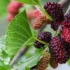 สารสกัด mulberry extract 100ml