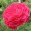 น้ำดอกกุหลาบมอญ 1 kg thumbnail 1