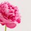 หัวน้ำหอม ดอกพีโอนี่ peony NG 004253 thumbnail 1