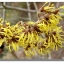 witch hazel distilled -alcohol free 100g thumbnail 1